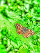 6th Jun 2017 - Butterfly on the nettles