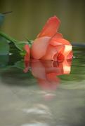 2nd Jun 2017 - Rose in water....