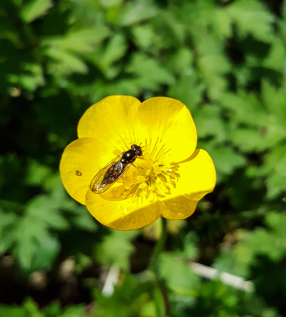 Bug on a buttercup by m2016