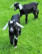 3rd Jun 2017 - Little Goats at Friendly Farm