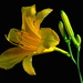 Day lily by congaree