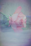 7th Jun 2017 - Impressions....rose in water.....