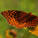 6-7 great spangled fritillary2 by milaniet