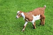 6th Jun 2017 - Friendly Goat