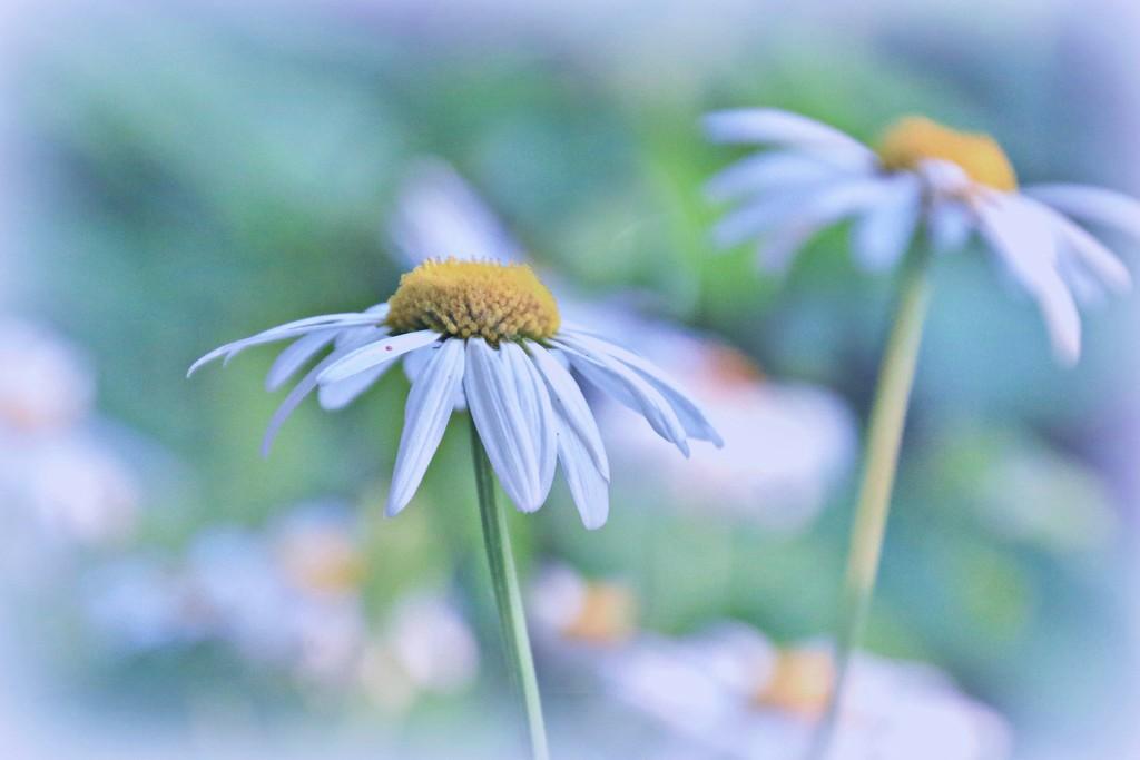 daisies by lynnz