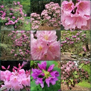 7th Jun 2017 - Rhododendron Path at the Arboretum