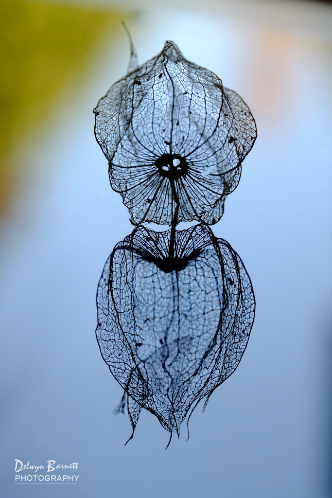 Cape Gooseberry by dkbarnett