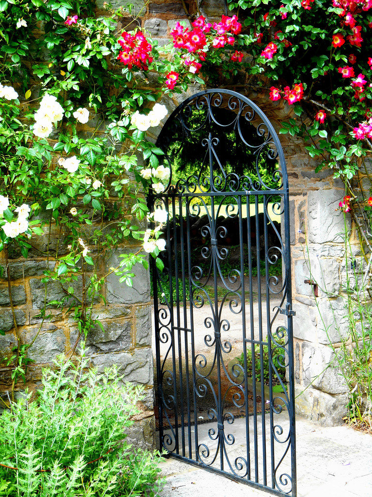 Roses round the gate.... by snowy