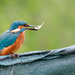Young Male Kingfisher with catch by padlock