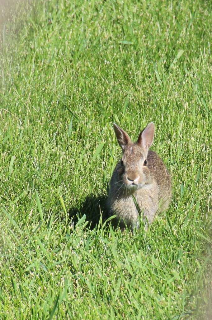 Young Peter Cottontail by bjchipman