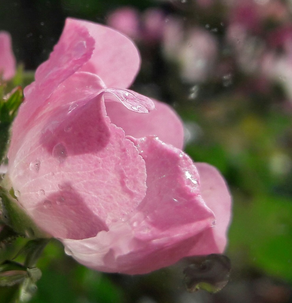 Rain drops on roses. .  by jokristina
