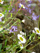 8th Jun 2017 - Flowers on the stone wall