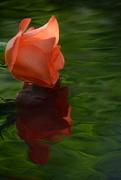 9th Jun 2017 - Rose and reflection.....