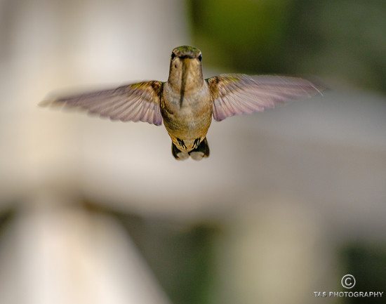 Humming Bird by tosee