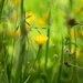Buttercups by richardcreese
