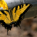 Eastern Tiger Swallowtail on the Water Pipe! by rickster549