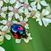 Reflections On A Ladybird by carolmw