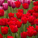 Tulips Surreal by nanderson