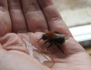 11th Jun 2017 - 30 Days Wild - Day 11 - Saving a Tree Bumblebee