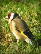 12th Jun 2017 - Goldfinch
