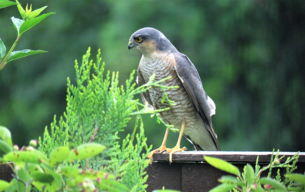 Garden Visitor - Sparrowhawk by phil_sandford