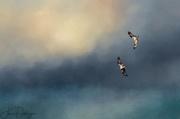 12th Jun 2017 - Osprey Pair Flying Together