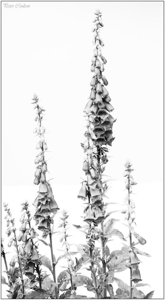 HK Foxgloves by pcoulson