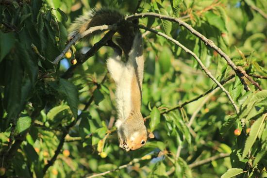 Bat squirrel SOOC 12.06.17 by psychographer