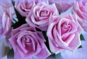10th Jun 2017 - Pink Roses