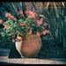 Back garden pelargoniums