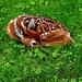 Lil Deer  by jo38