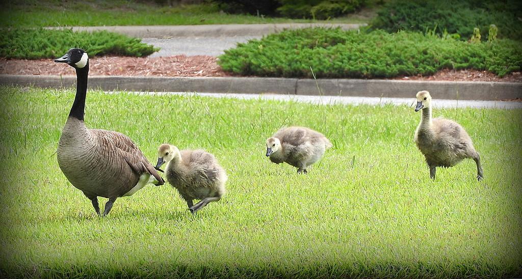 She's got her goslings in a row! by homeschoolmom