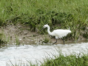 14th Jun 2017 - An Egret