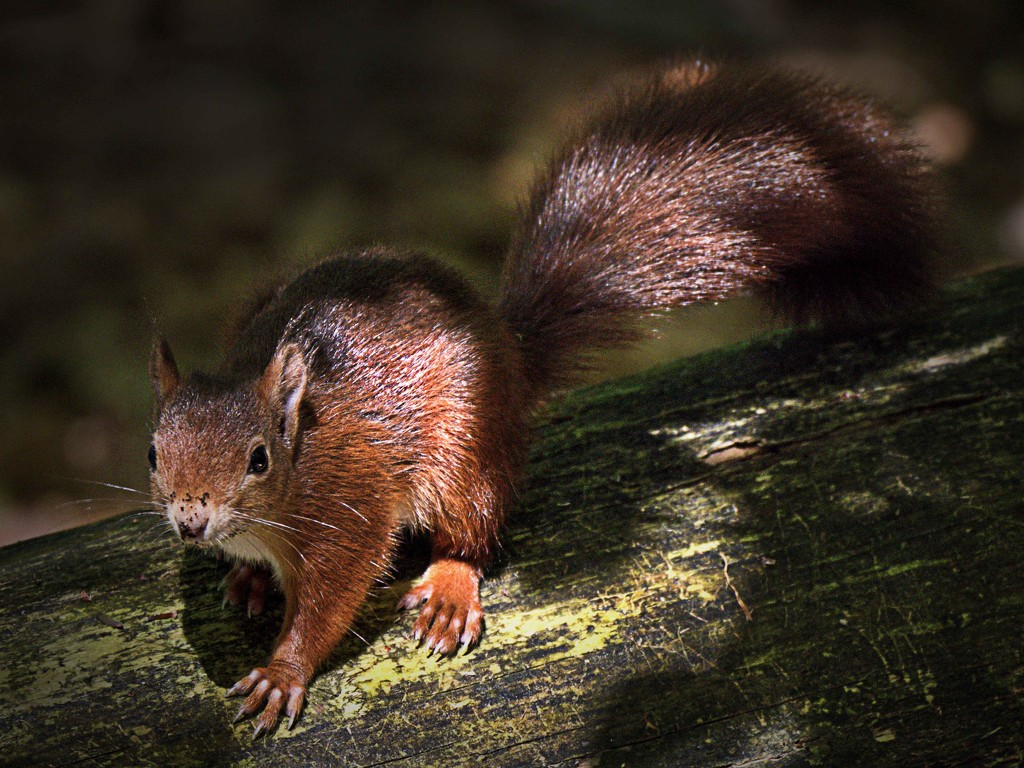 Red Squirrel. by gamelee