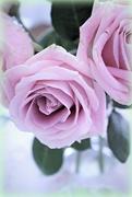 13th Jun 2017 - Pink Rose Again