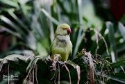 13th Jun 2017 - Green bird on a green palm leaf ...