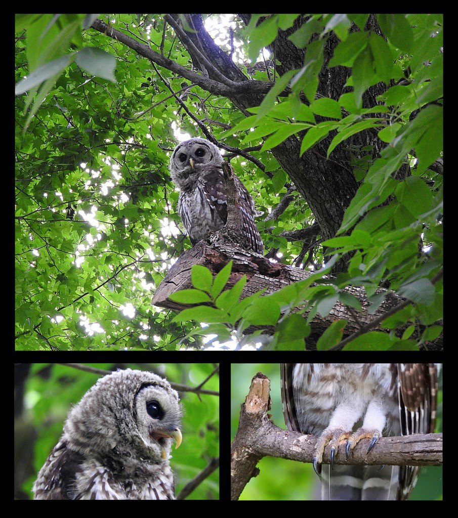 Barred Owlet in the Park by homeschoolmom