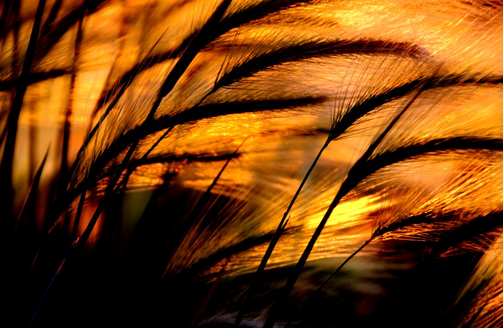 Sunset Weeds by lynnz