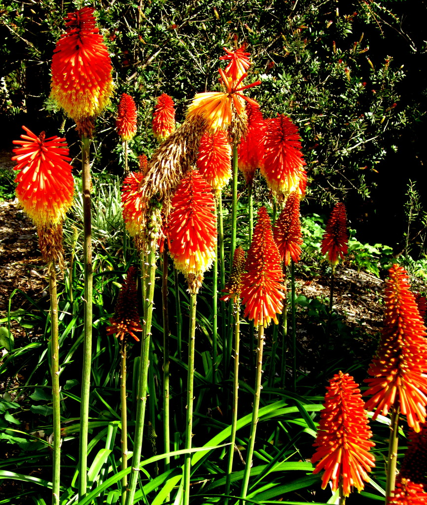 Red Hot pokers.  at the Open Garden on the Range by 777margo