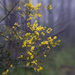 Wattle in the mist by annied