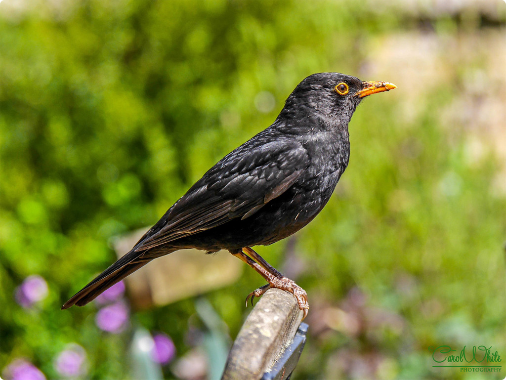 Mr.Blackbird by carolmw