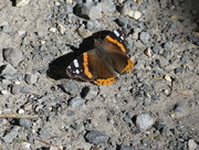 15th Jun 2017 - A Red Admiral Butterfly