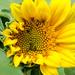 First Sun flower