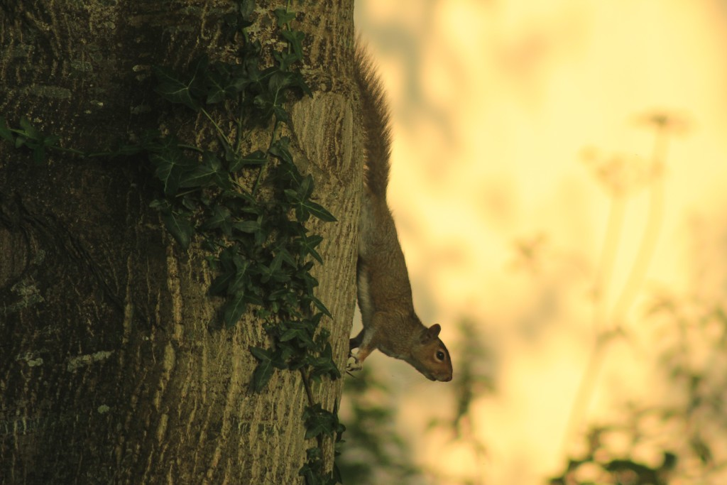 Downward facing squirrel SOOC - 14.06.17 by psychographer