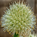 Onion Blossom by dianen