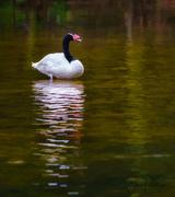 1st Jun 2017 - Black Necked Swan In Breeding Plumage