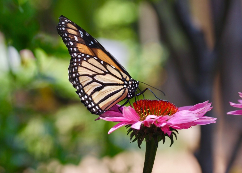 Monarch at Lunch by jnorthington