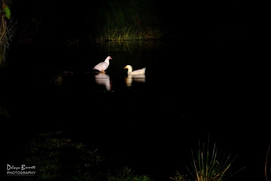 Little white ducks ... by dkbarnett