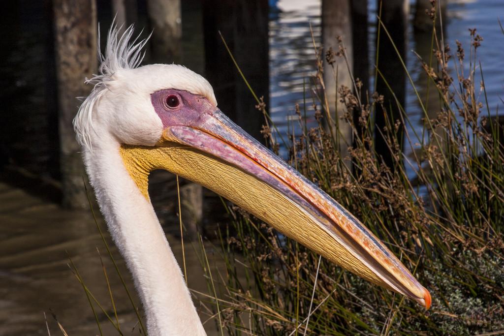 Bokkom Laan Pelican by seacreature