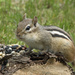 Yesterday Squirrels, Today Chipmunks by gaylewood